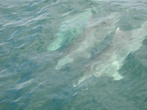 belize dolphins under water WOW